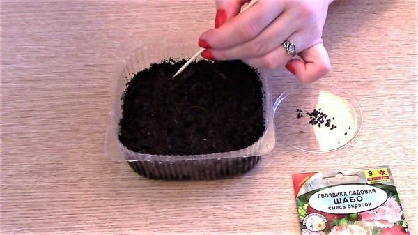 Раскладываем семена гвоздики с помощью шпажки