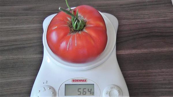 Вес помидора сорта Delicious от 400 до 600 грамм