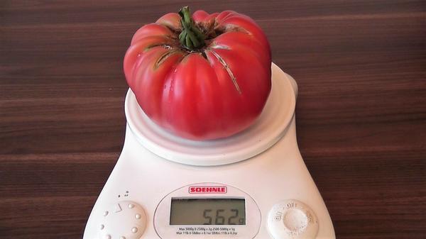 Вес томатов Хоумстед Розовый гигант от 500 до 700 грамм