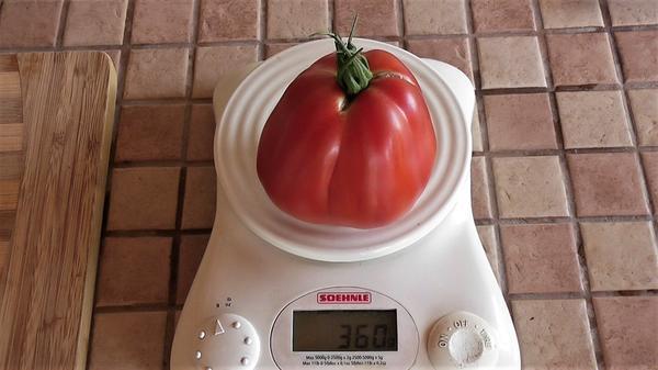 Вес помидора Хоумстед Красный гигант от 300 до 400 грамм