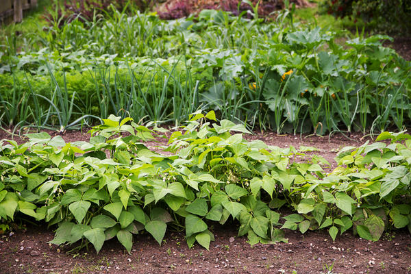Грядка с фасолью на огороде