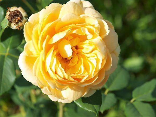 Цветок кустарниковой розы