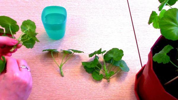 Убираем листья с нижней части черенков