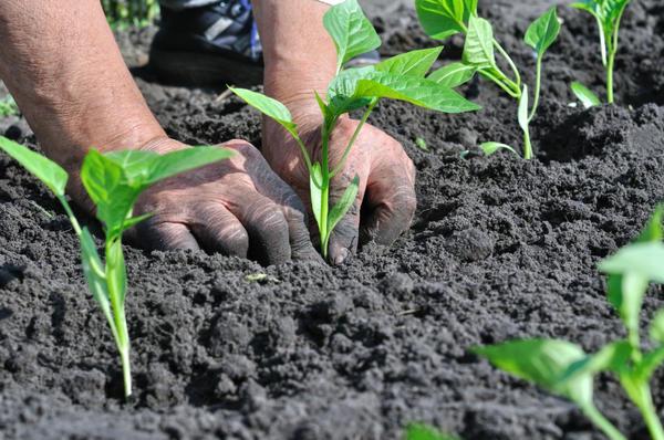 Высаживание рассады перца в открытый грунт