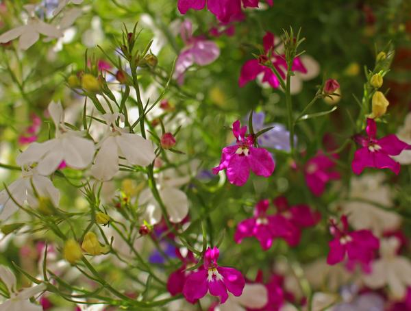 Цветки лобелии