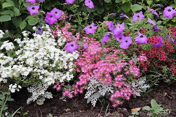 Однолетние флоксы с другими цветами в моём цветнике