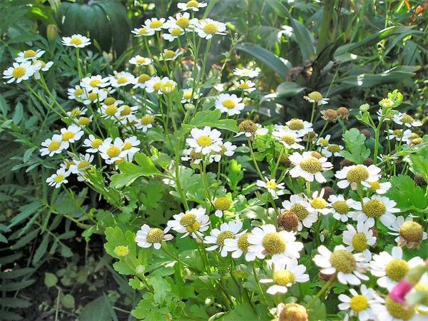 Ромашки в саду