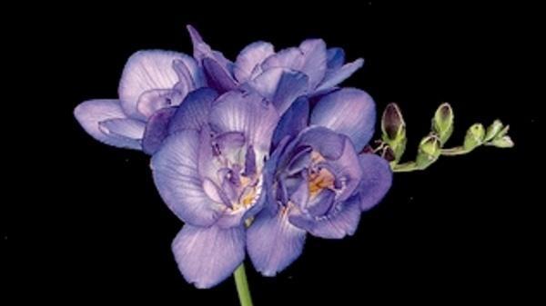 Фрезия гибридная, сорт Роял Блю. Фото сайта freesiainfo.com
