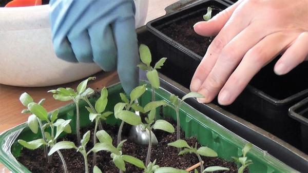 Пикировка томатов. Фото автора