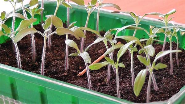 Сеянцы томата. Фото автора