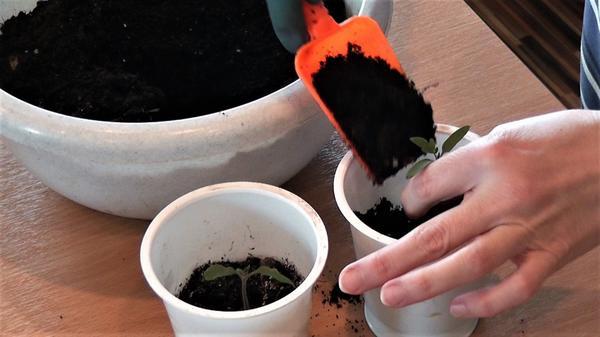 Подсыпаем почву в стакан с сеянцем. Фото автора