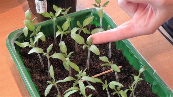 На сеянцах томата выросли два настоящих листочка. Фото автора