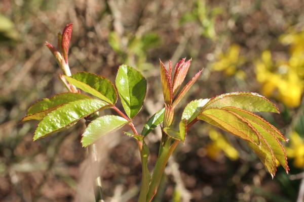 Молодые листики розы
