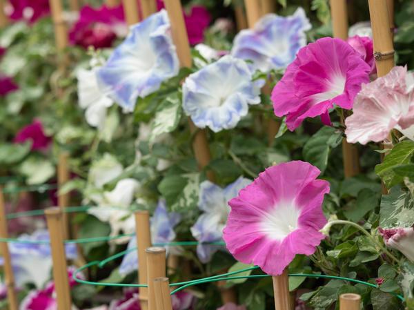 Нежные цветы ипомеи