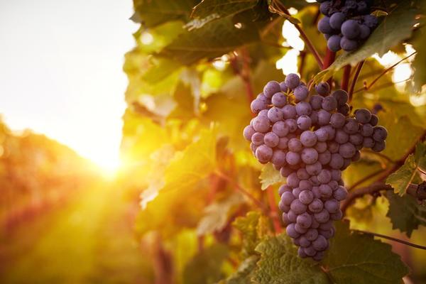 Винограду нужны тепло и свет