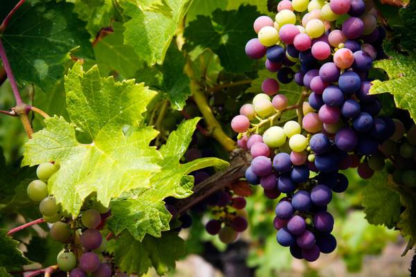 Поспевает виноград