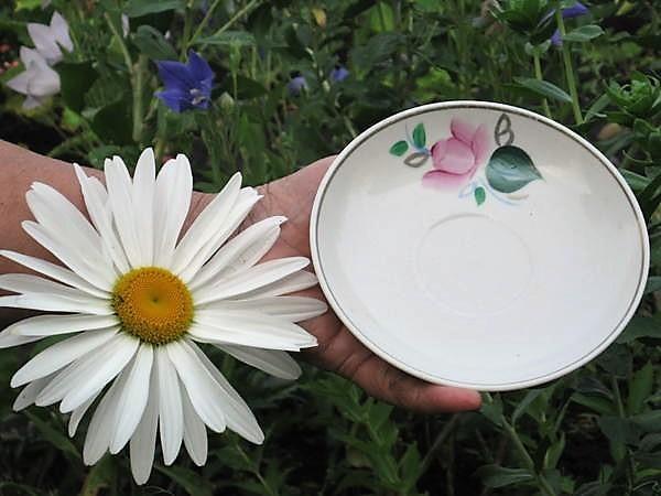Цветок нивяника величиной с блюдце