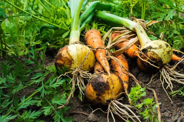 Лук репчатый хорошо соседствует с морковью