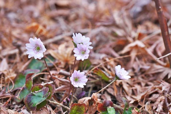 Белые цветки печеночницы
