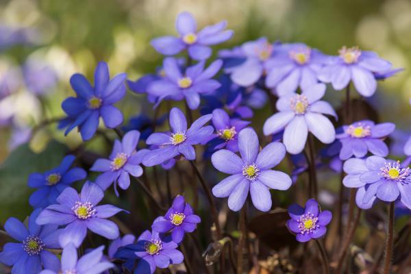 Обильное цветение печеночницы