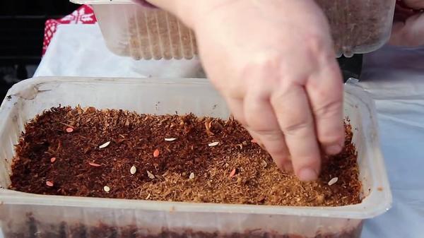 Раскладываем семена и присыпаем сухими опилками