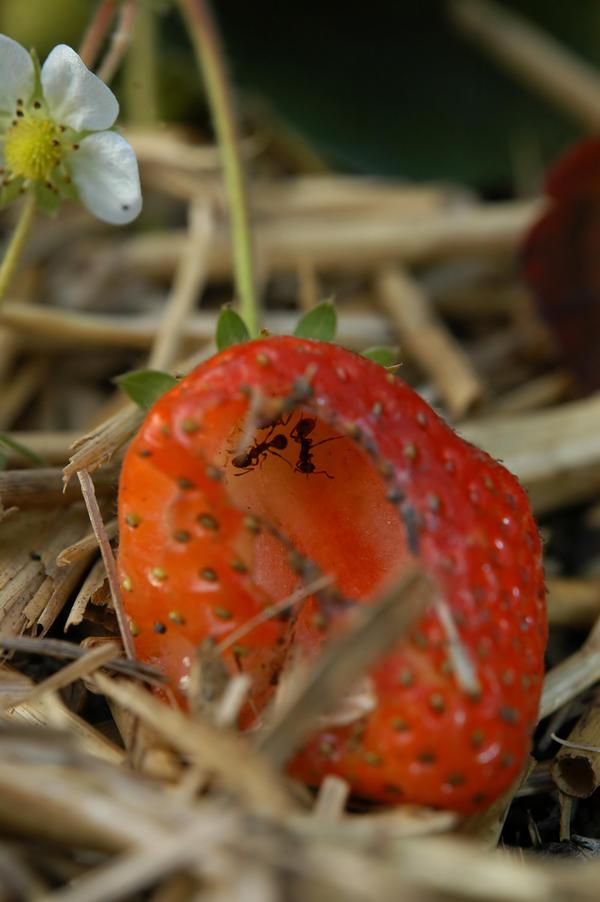 Сильно размножившиеся муравьи начинают поедать ягоды