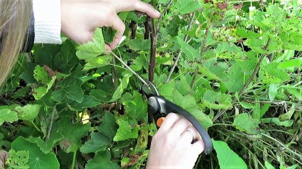 Нарезаем однолетние побеги красной смородины