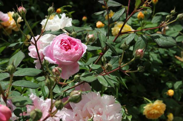 Нежные розы в летнем саду