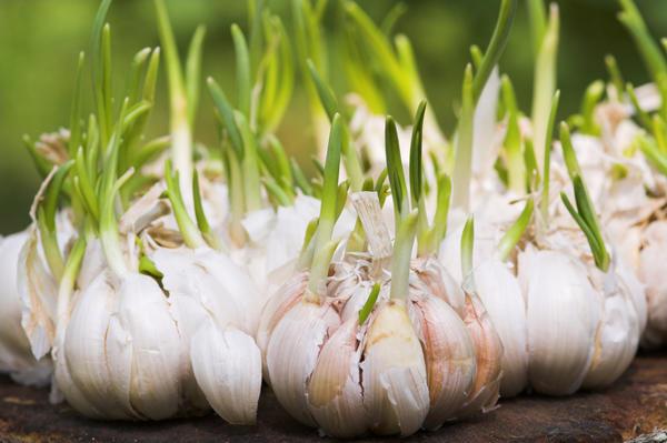 Zarodniki są zabijane przez czosnkiem