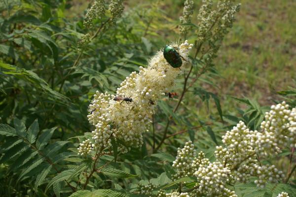 Цветущий рябинник привлекает насекомых. Фото автора