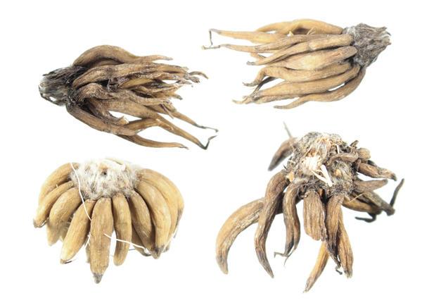 Клубеньки ранункулюсов