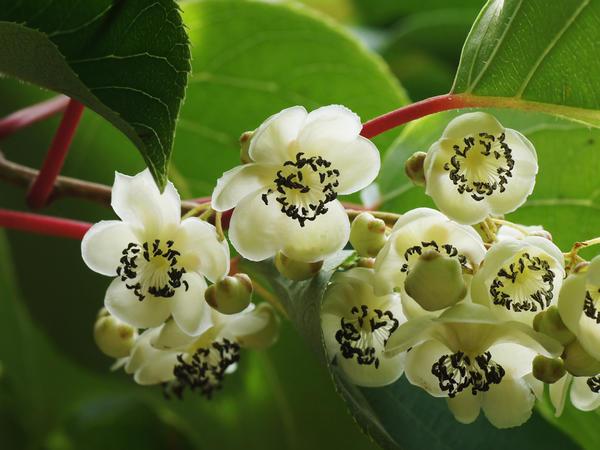 Цветы актинидии. Фото с сайта happymodern.ru