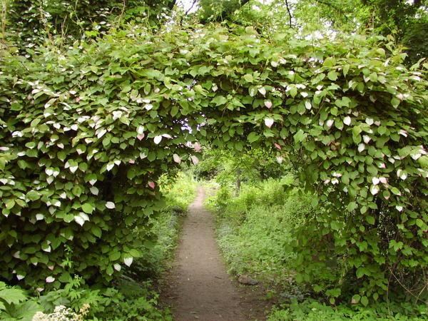 Вход в сад - арка с актинидией. Фото с сайта happymodern.ru