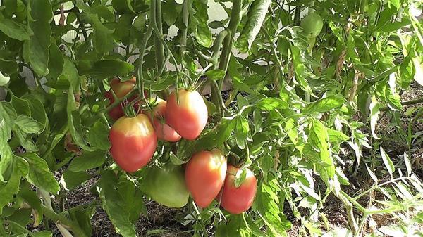 Нужно брать помидор, у которого форма, окраска и вес более всего соответствуют сортовым признакам. Фото автора