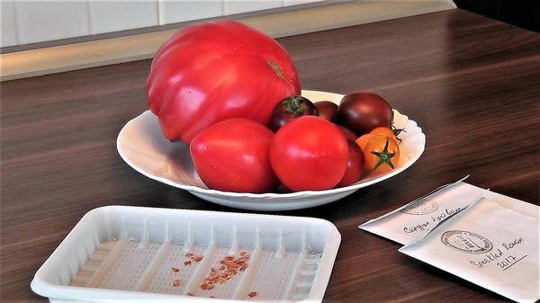 Заготовка семян томатов. Фото автора