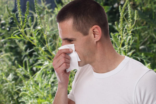 Аллергологи считают пыльцу амброзии одним из самых агрессивных аллергенов