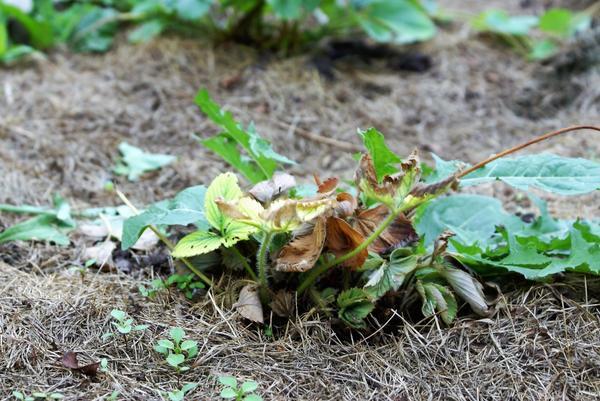 Такое растение нужно заменить. Фото автора