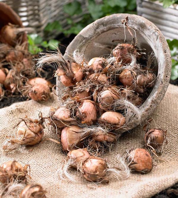 Луковицы крокосмии. Фото с сайта blog.longfield-gardens.com