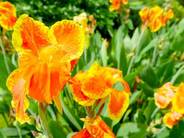 Цветёт канна
