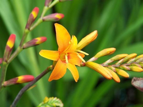 Крокосмия Norwich Canary. Фото с сайта gardeningexpress.co.uk