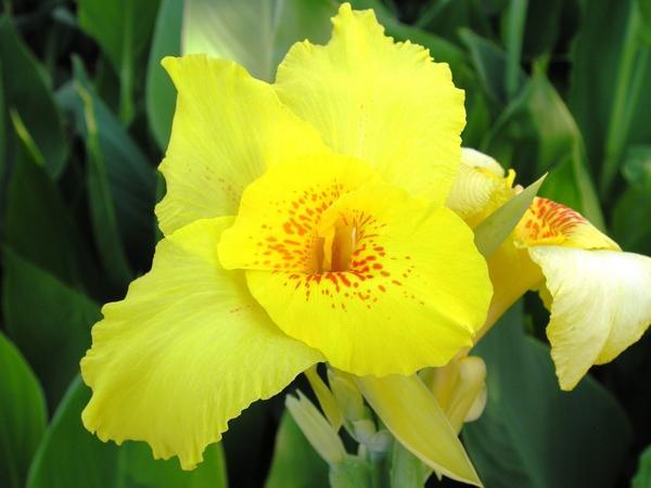 Цветёт канна сорта Suieviia