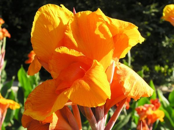 Цветёт канна сорт Feuervogel