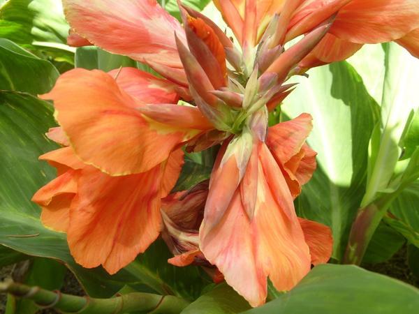 Цветёт канна сорта Louis Kayeux