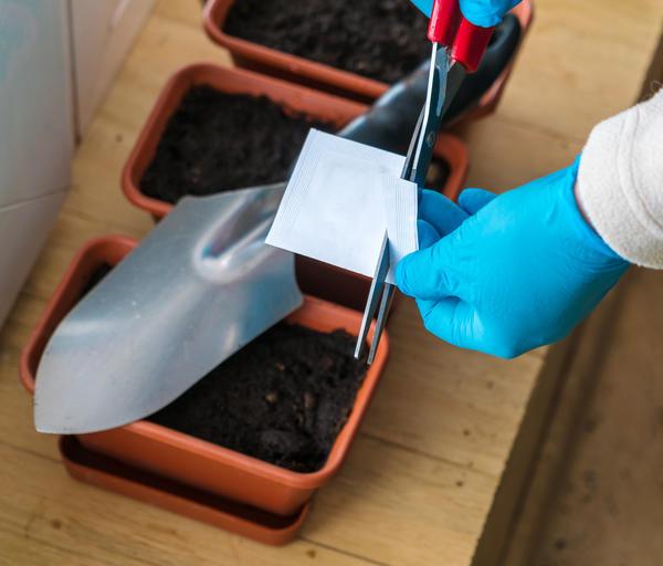 Лучше приобрести семена гелиотропа в магазине