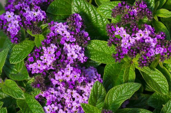 Цветок гелиотроп выращивание из семян, фото, уход и 39