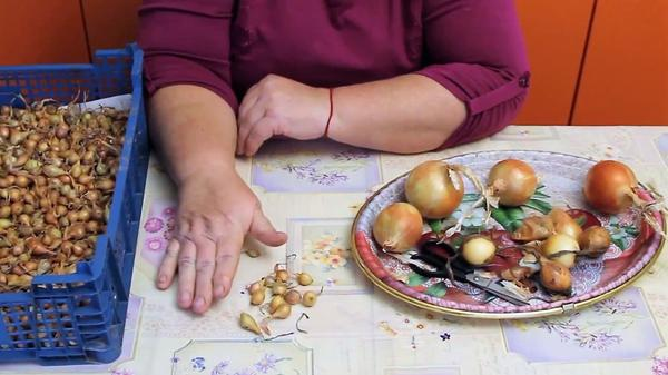 Лук-севок для подзимнего посева и лук для хранения