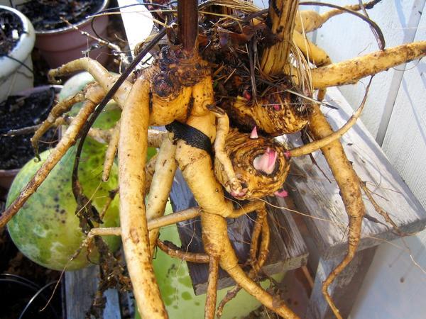 Корневище девясила. Фото с сайта rosewoods.com