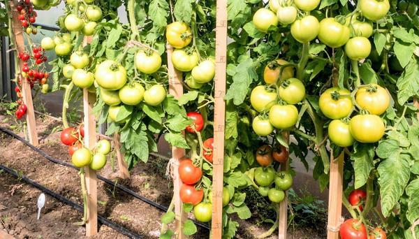 'Лирика F1' устойчив к основным заболеваниям томатов и очень урожаен