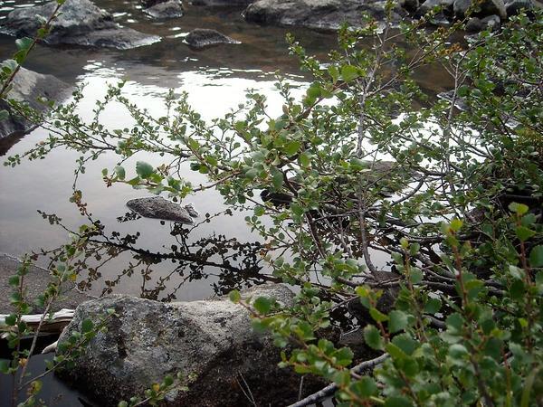 Берёза карликовая на берегу естественного водоёма. Фото автора