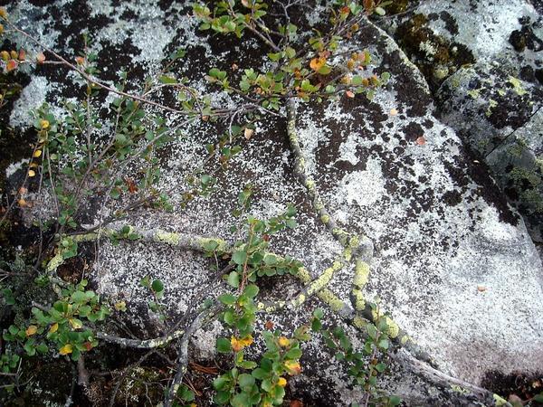 Ветка берёзы карликовой на фоне камня и лишайников. Фото автора
